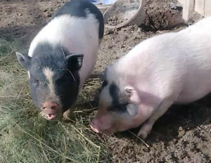 Baby mini pigs for sale!