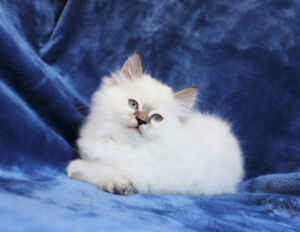 Lilac Point Ragdoll kittens are available for their new homes