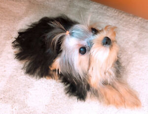 Doll faced Yorkie