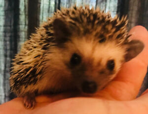 Adorable home raised baby Pygmy Hedgehogs!