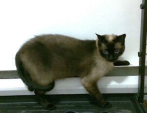 Chat Siamois Perdu/Lost Siamese cat