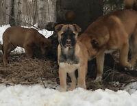 Mastiff x Malamute pups