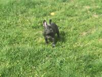 Solid blue French bulldog female pup