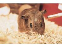 2 young female guinea pigs
