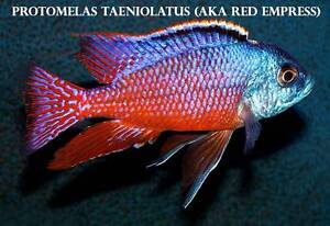 Red Empress.....+ 15 other types of stunning African Cichlids!! Ormeau Gold Coast North Preview