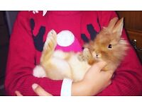8 week ginger rabbit with hutch and accessories £30