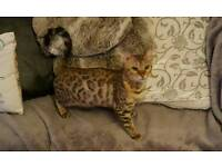 Stunning Bengal kittens for sale ready now