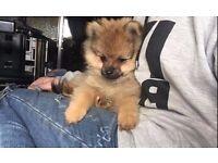 Tiny Pomeranian puppy