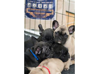 French Bulldog Puppies for sale - now 8 weeks old and ready to leave for their forever homes.