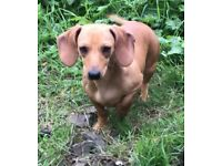 Cream dachshund bitch for sale