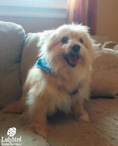 "Senior Male Dog - Terrier-American Eskimo Dog: ""Bear"""