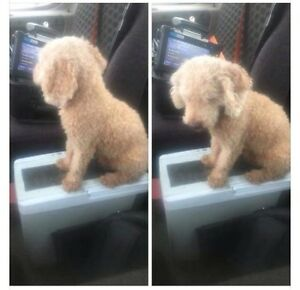 FOUND POODLE