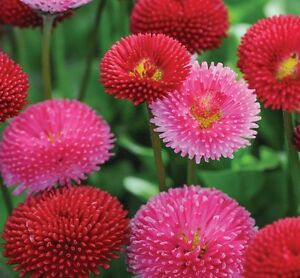Bellis perennis pomponette mix - Appx 1000 seeds - Annuals & Biennials