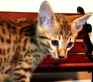 Savannah Kittens TICA Registered
