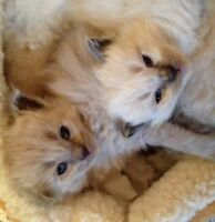 One Ragdoll baby left and looking for a forever home