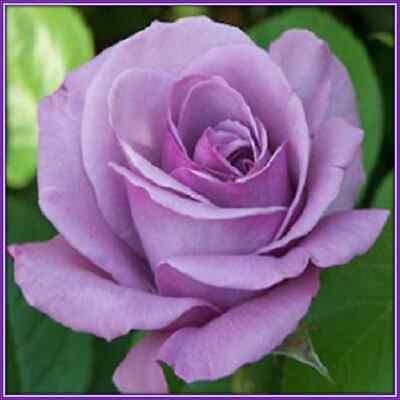 30 Custom Lavender Rose Personalized Address Labels