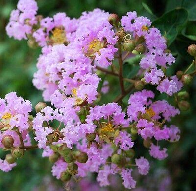 Crape Myrtle   Muskogee   Lavender Pink   1 Plant   4  Pot