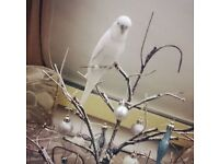 2 budgies (cage and food included)