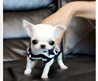 Wanted: White teacup chihuahua. Puppy or Adult