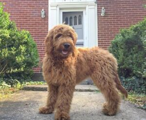 Looking for a f1 Goldendoodle puppy or f1b