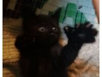 Polydactyl kittens - Cute kittens with thumbs/mittens - Very rare