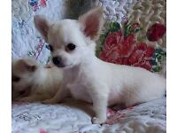 Chihuahua pups Long coat KC Registered