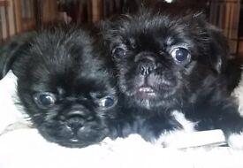 Pug cross Shih tzu puppies - 2 girls