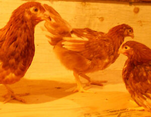 Isa Brown Chickens for sale