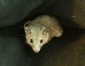 Short Tailed Opossum Babies - Only Breeder in Canada!
