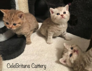 Purebred British Shorthair kittens
