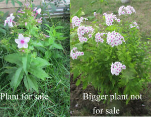 Phlox Paniculata flowering perennial plant