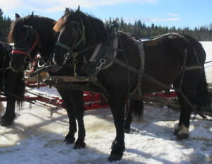 Team of Percheron Mares