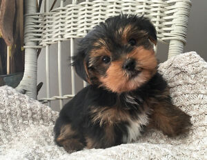 Yorkshire Terrier Puppies! Yorkies ready now