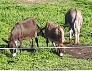 SOLD PPU ... Miniature donkey for sale