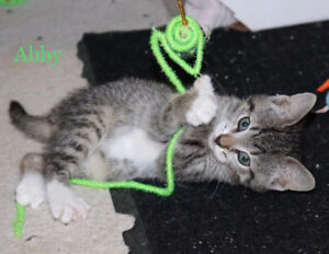 Bonded Kittens, Abby & Gabby, for Adoption with KLAWS