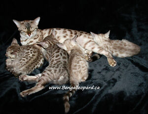 Chatons Bengal Exotiques