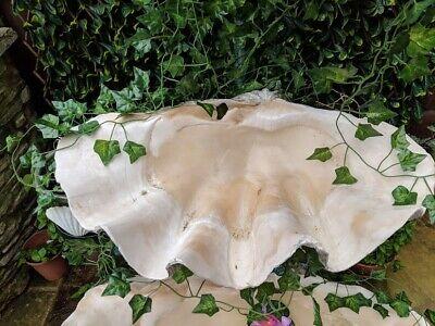 Giant Clam Shell shells Tridacna Gigas 70 cm antique 27