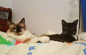 AK1136:Harper&AK1388:Butterscotch-CATS FOR ADOPTION-Vet Work Beldon Joondalup Area Preview
