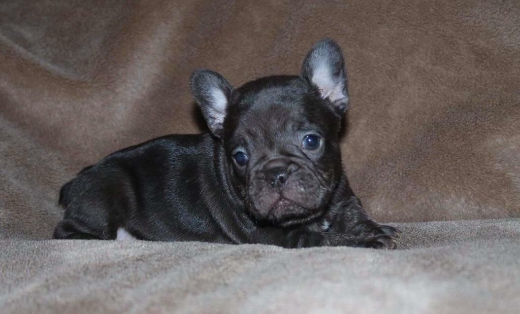 Beautiful KC registered French Bulldogs  | in Caerphilly | Gumtree