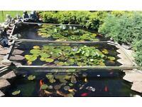 Pond fish koi goldfish tench orfe