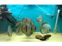 Wild Discus and Domestic Discus Fish
