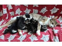 4 beautiful kittens for sale 1 REMAINING