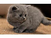 Adorable Pedigree BSH Blue kitten
