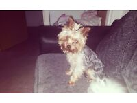 Miniature Yorkshire Terrier boy. Beautiful nature. 18 months old . Very sad sale.