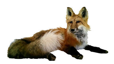Laying Sitting Red Fox Taxidermy Animal Statue Home or Office Gift