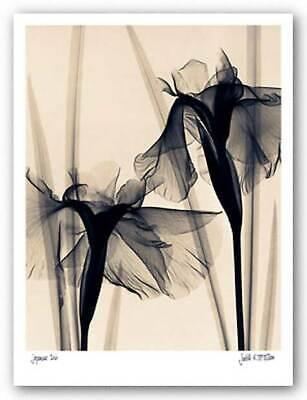 Japanese Iris Judith McMillan Floral Art Print Poster 11x14