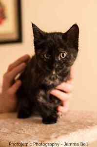 Sally rescue kitten VET WORK INCLUDED Thornlie Gosnells Area Preview