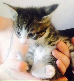 Beautiful cross tabby kittens ❤️