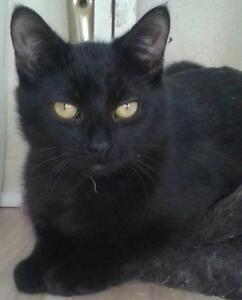"Young Female Cat - Domestic Short Hair-black: ""Shanti"""
