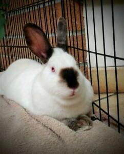 "Young Female Rabbit - Californian: ""Spice"""